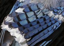 蓝色尖嘴鸟羽毛 库存照片