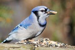 蓝色尖嘴鸟花生 库存照片