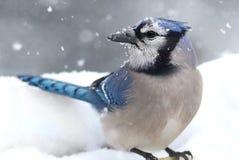 蓝色尖嘴鸟雪 库存照片