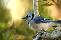 蓝色尖嘴鸟, cyanocitta cristata 免版税库存图片