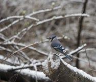 蓝色尖嘴鸟, Cyanocitta cristata 免版税库存照片