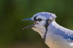 蓝色尖嘴鸟画象 库存图片
