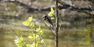 蓝色尖嘴鸟 免版税图库摄影