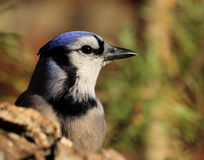 蓝色尖嘴鸟 免版税库存图片
