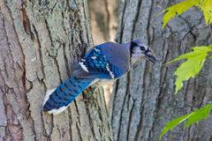 蓝色尖嘴鸟 库存图片