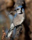 蓝色尖嘴鸟- Cyanocitta cristata在分支在春天栖息 库存照片