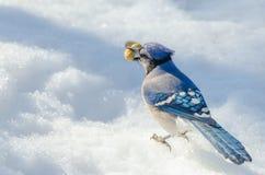 蓝色尖嘴鸟(Cyanocitta cristata)在熔化的春天春天粒雪 库存照片