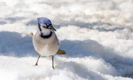 蓝色尖嘴鸟(Cyanocitta cristata)在熔化的春天春天粒雪 免版税库存照片