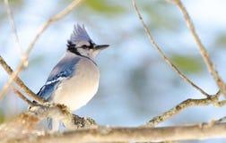 蓝色尖嘴鸟(Cyanocitta cristata)早期的春天,栖息在分支,观察和勘测他的领域 免版税库存图片