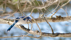 蓝色尖嘴鸟(Cyanocitta cristata)早期的春天,栖息在分支,观察和勘测他的领域 图库摄影