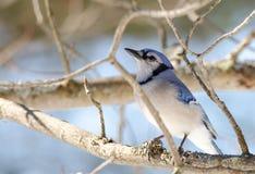 蓝色尖嘴鸟(Cyanocitta cristata)早期的春天,栖息在分支,观察和勘测他的领域 库存照片