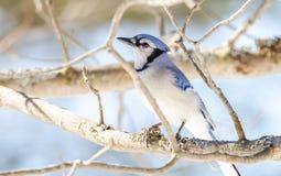 蓝色尖嘴鸟(Cyanocitta cristata)早期的春天,栖息在分支,观察和勘测他的领域 库存图片