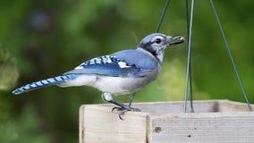 年轻蓝色尖嘴鸟(Cyanocitta cristata)雏鸟 免版税库存图片