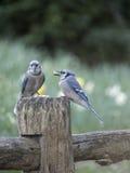 蓝色尖嘴鸟Cyanocitta cristata 免版税库存照片
