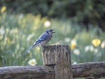 蓝色尖嘴鸟Cyanocitta cristata 图库摄影