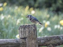 蓝色尖嘴鸟Cyanocitta cristata 库存图片