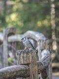 蓝色尖嘴鸟Cyanocitta cristata 库存照片