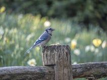 蓝色尖嘴鸟Cyanocitta cristata 免版税图库摄影