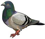 蓝色岩石鸽子 免版税库存图片