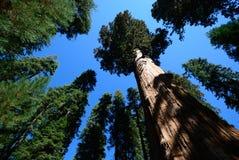 蓝色巨型美国加州红杉天空结构树 免版税图库摄影
