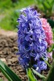 蓝色庭院或荷兰风信花 图库摄影