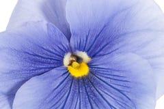 蓝色庭院蝴蝶花唯一花在白色背景,关闭的, 库存照片