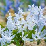 蓝色开花变苍白 免版税库存照片
