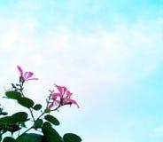 蓝色开花桃红色天空 库存图片