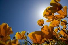 蓝色开花橙色天空弹簧 免版税图库摄影