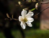 蓝色开花的花水羚属木兰天空结构树白色 免版税库存照片
