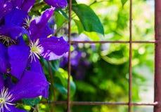 蓝色开花背景照片 库存图片