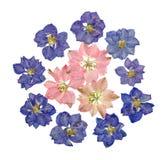 蓝色开花被按的larkspur粉红色 免版税库存图片