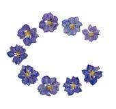 蓝色开花被按的larkspur 免版税库存照片