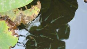 蓝色异乎寻常的鱼在湖 图库摄影