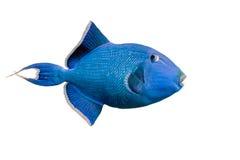 蓝色引金鱼 免版税图库摄影