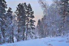 蓝色微明在冬天森林里。 免版税库存图片