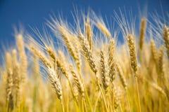 蓝色成熟天空麦子 免版税图库摄影