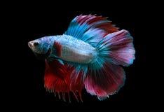 蓝色战斗鱼红色暹罗语 免版税库存图片
