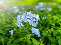 蓝色披肩与白光选择聚焦的白花丹属花 免版税库存照片