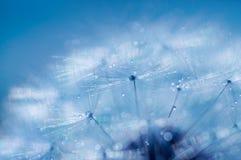 蓝色抽象蒲公英花背景,极端特写镜头 免版税图库摄影