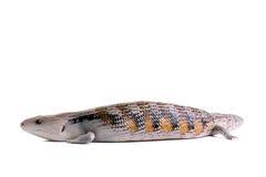 蓝色拉丁命名scincoides skink tiligua舌头 库存照片