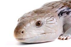 蓝色拉丁命名scincoides skink tiligua舌头 库存图片