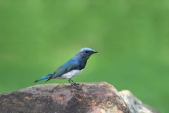 蓝色捕蝇器白色 库存图片