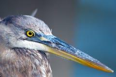 蓝色接近的极大的苍鹭  免版税图库摄影