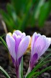 蓝色接近的番红花花iridaceae出现 免版税图库摄影