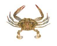 蓝色接近的螃蟹 免版税图库摄影