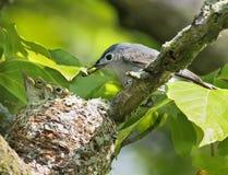 蓝色提供的蚋莺灰色刚孵出的雏 免版税库存照片