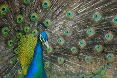 蓝色收缩的孔雀 免版税库存照片
