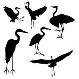 蓝色收藏极大的苍鹭 免版税库存照片