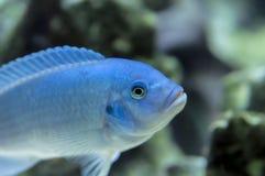 钴蓝色斑马非洲人丽鱼科鱼 库存照片